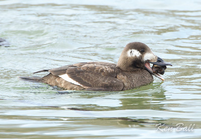 Bronte Harbour, Ontario, white-winged scoter: Melanitta fusca,  first winter: 1st winter, female