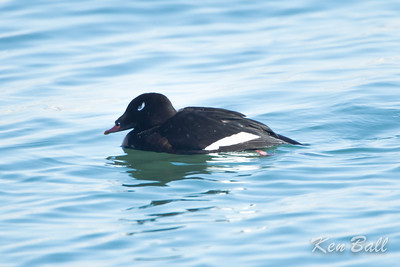 Bronte Harbour, male, Ontario, white-winged scoter: Melanitta fusca