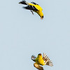 Finches and Crossbills :