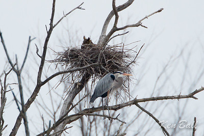 A pair of Great Horned Owls have taken over a nest at the heronry. The herons scream, fly around and try to drive off the male  owl each time it comes to the nest. great blue heron: Ardea herodias, great horned owl: Bubo virginianus, heronry,