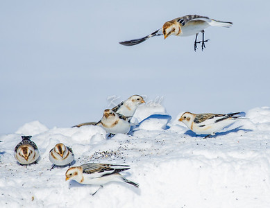 """Incoming!"" snow bunting: Plectrophenax nivalis, Wall Road"