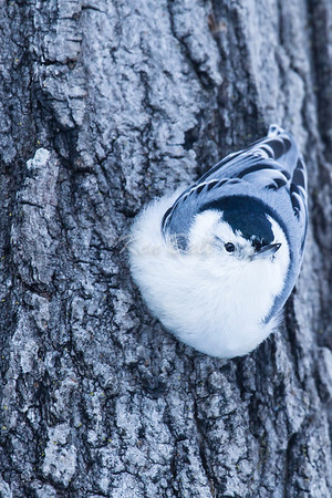 The nuthatch and I are cheerful, even at -27C. Jack Pine Trail, white-breasted nuthatch: Sitta carolinensis