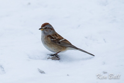American tree sparrow: Spizella arborea, Dewberry Trail