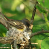 American redstart: Sehaga ruticilla, female, Mud Lake, nesting